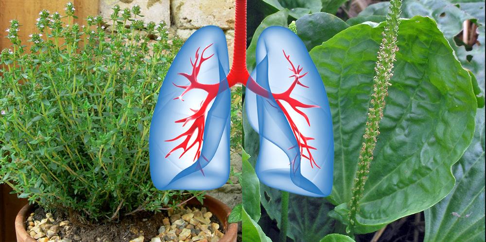 9 plante și ierburi care remediază leziunile pulmonare, combat infecțiile și stimulează sănătatea plămânilor