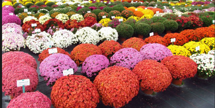 Îngrijirea crizantemelor la ghiveci – ce trebuie să faci ca florile de toamnă să nu se usuce