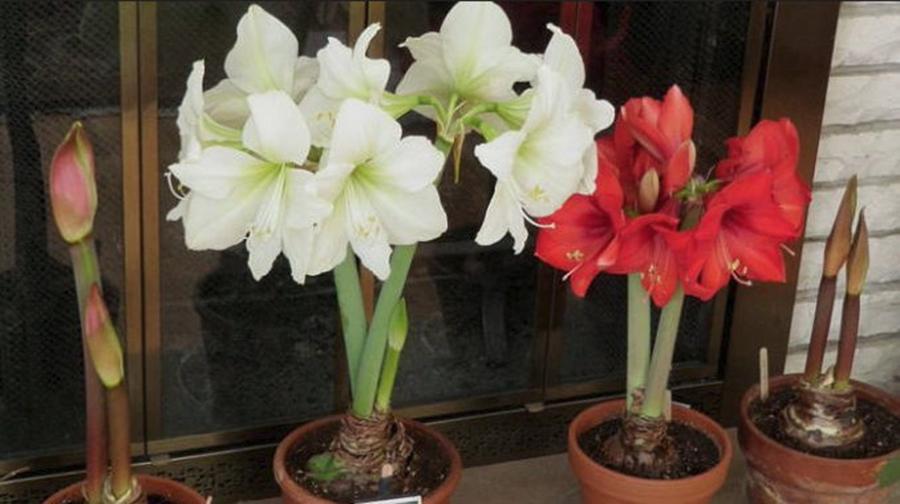 Amaryllis – crinul de ghiveci . Cand se planteaza pentru a avea flori de Craciun