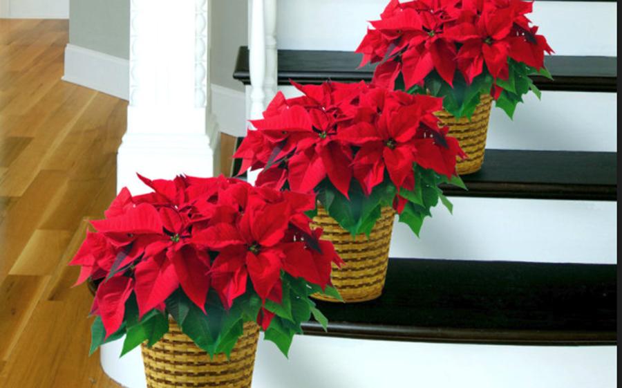 Sfaturi de la specialisti: 7 secrete pentru îngrijirea crăciunițelor
