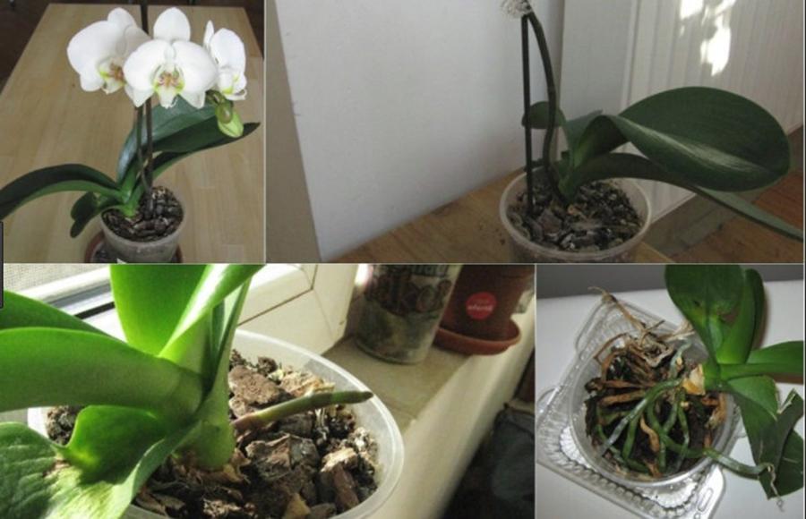 Cum se provoacă o nouă înflorire la orhidee