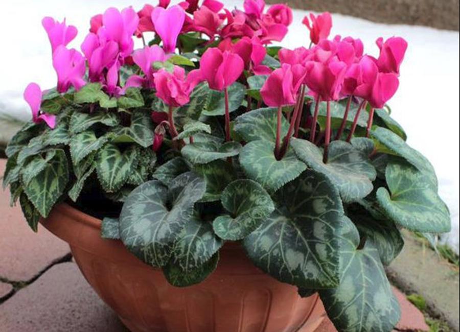 Flori rezistente la frig. Iată ce poți cultiva iarna în balcoane