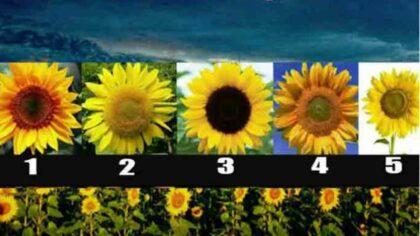 Alege o floare a soarelui...